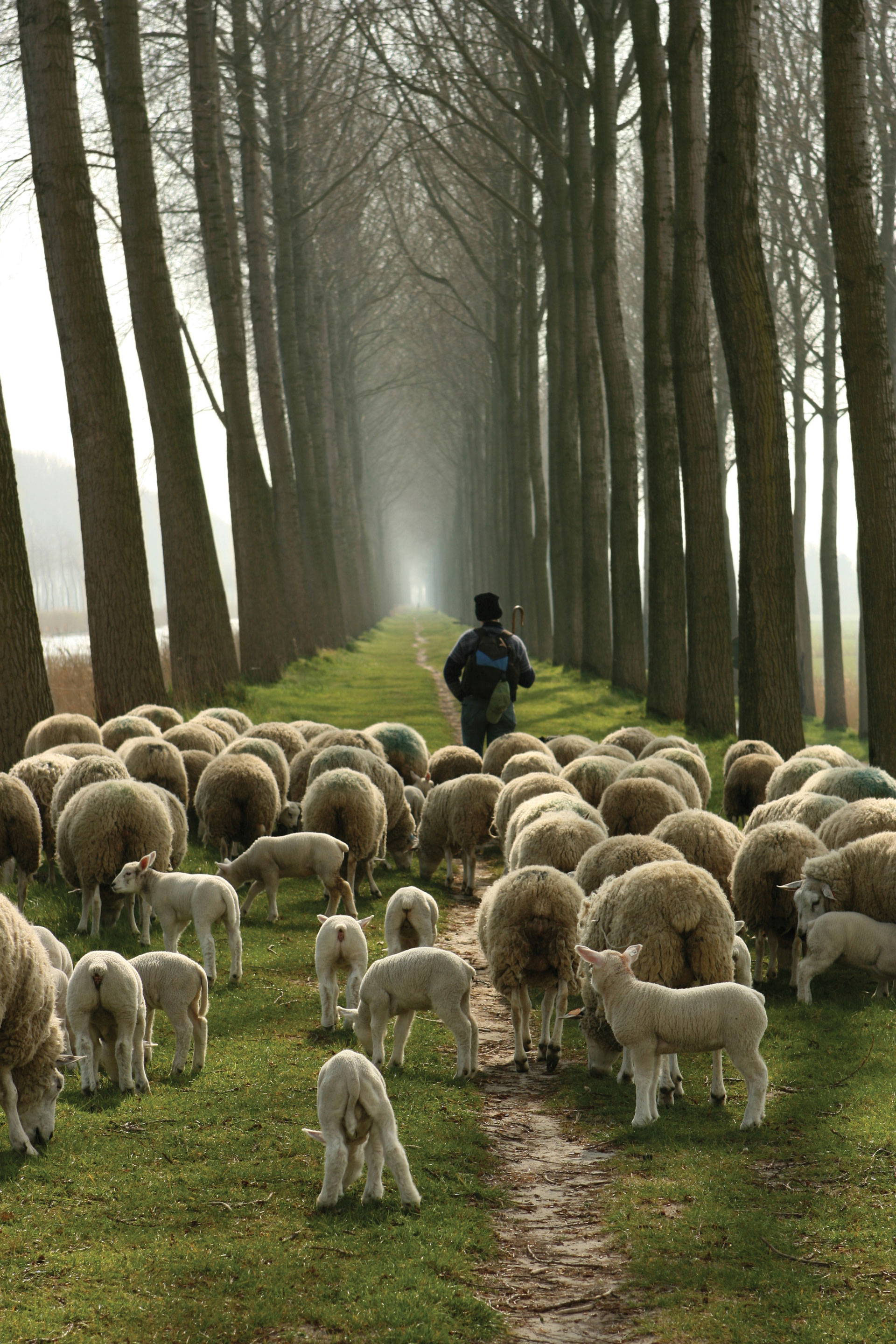 Shepherd and flock walking down a tree lined path, Springtime